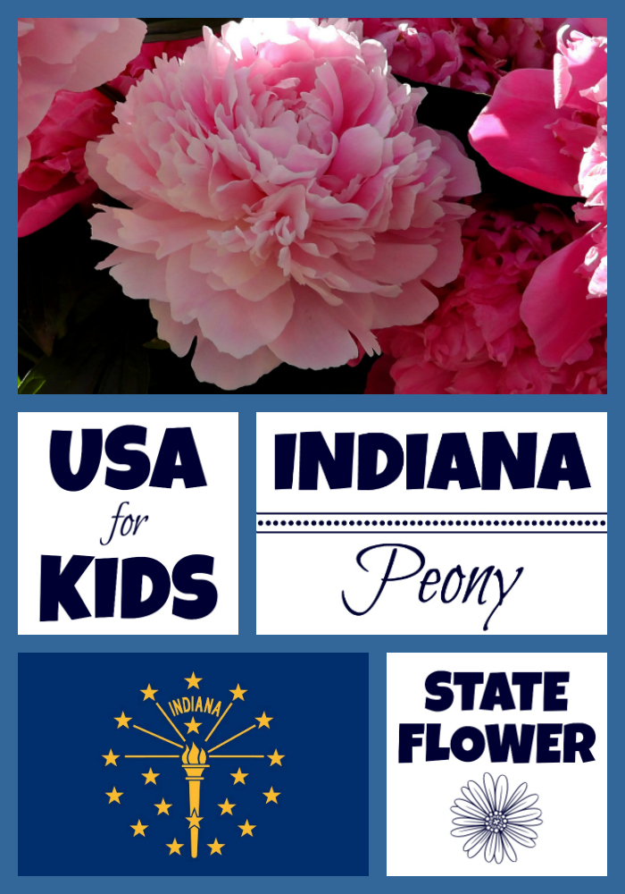 Indiana State Flower Peony By Usa Facts For Kids