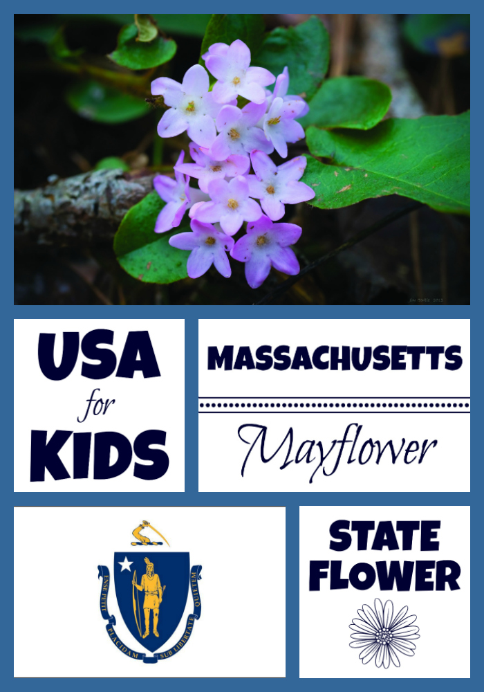 Massachusetts State Flower Mayflower