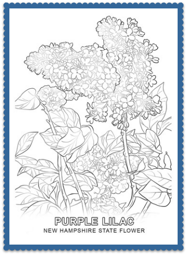 new hampshire state flower coloring pages