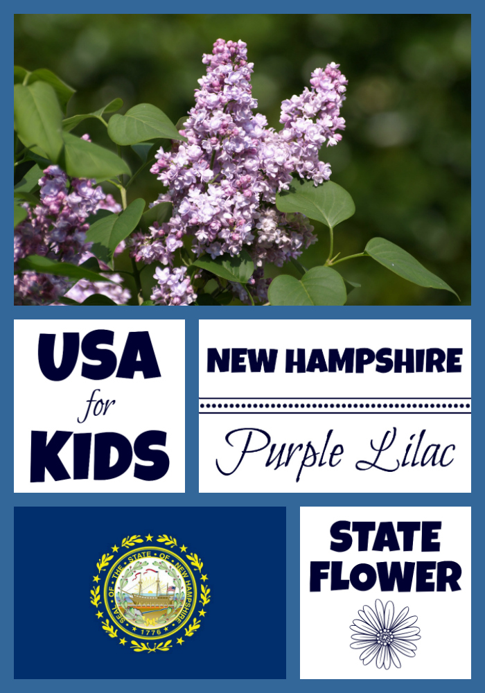New Hampshire State Flower Purple Lilac by USA Facts for