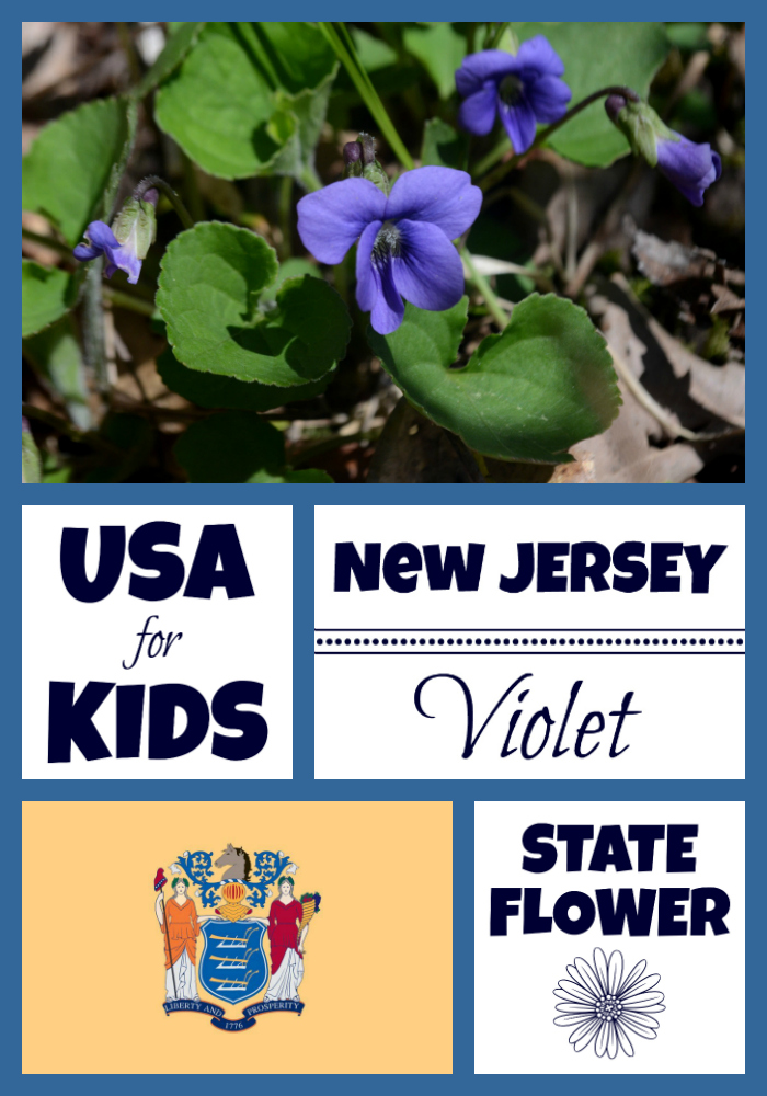 New Jersey State Flower Meadow Violet By Usa Facts For Kids