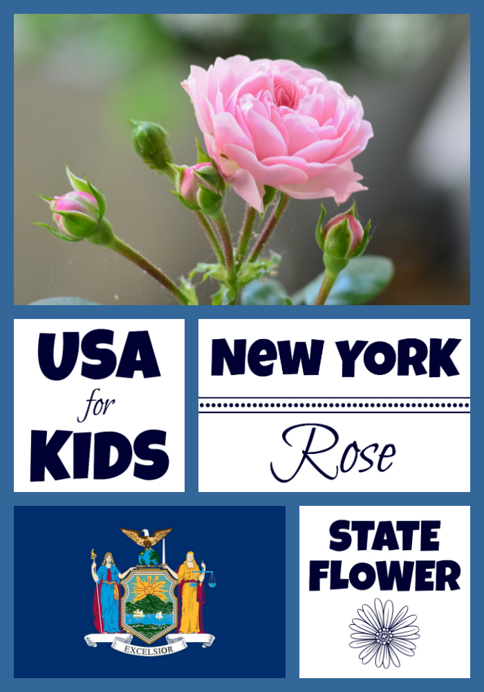 New York State Flower Rose By Usa Facts For Kids