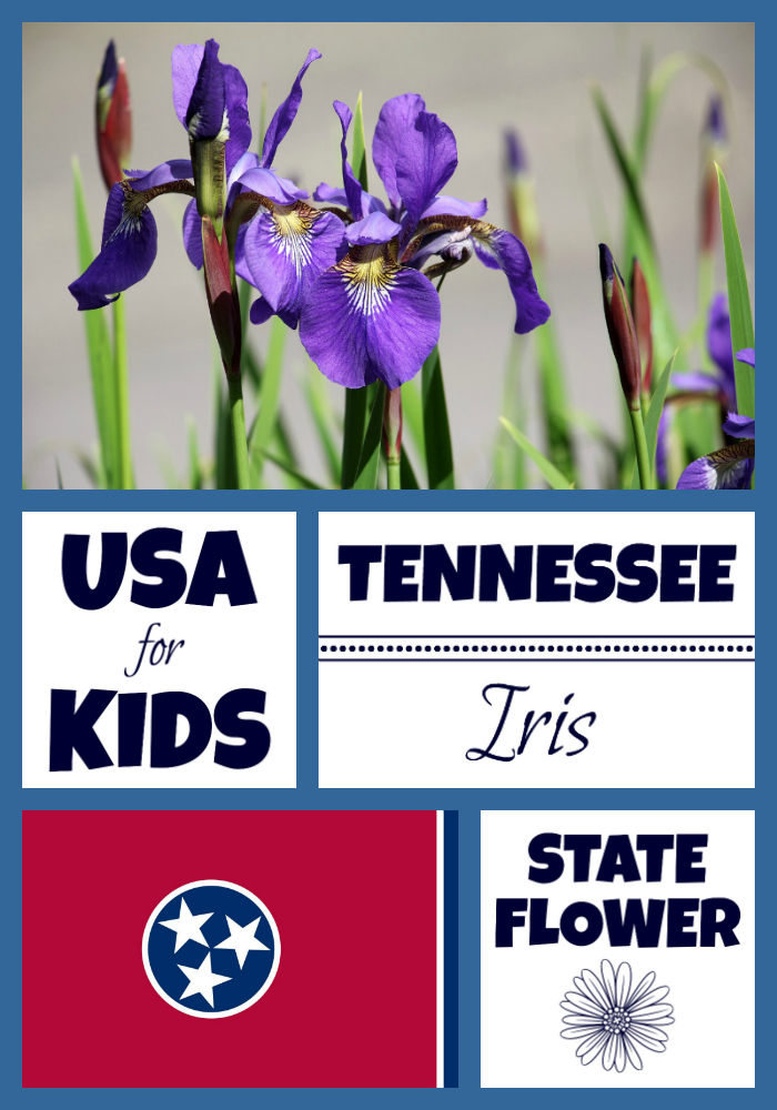 Tennessee State Flower Iris by USA Facts for Kids