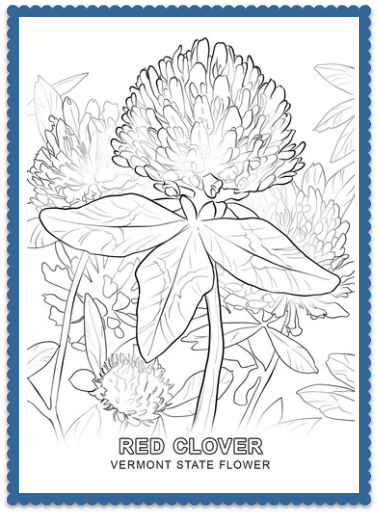 Vermont State Flower Coloring Page