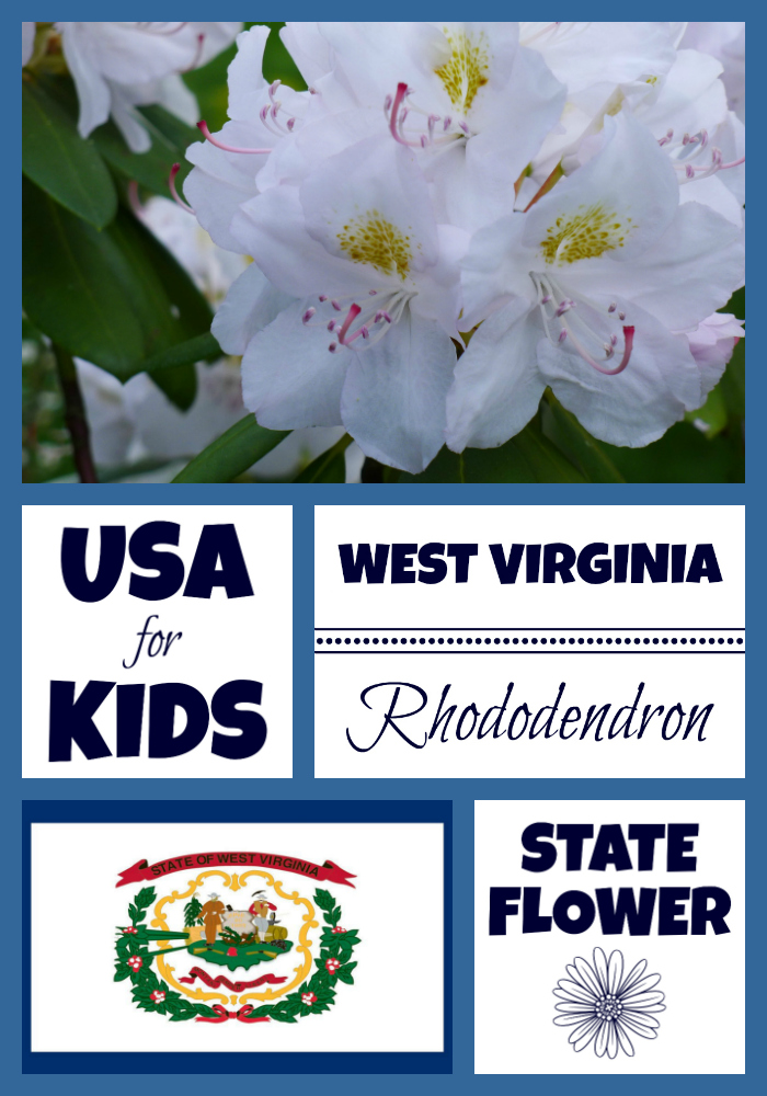 West Virginia State Flower Rhododendron by USA Facts for