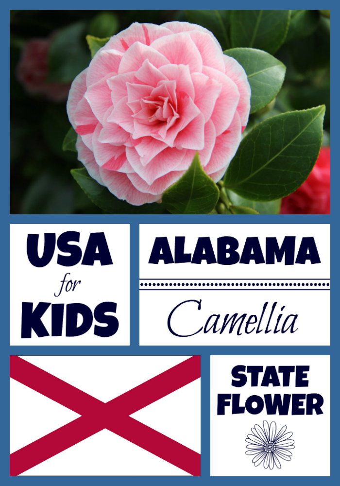 Alabama State Flower Camellia By Usa Facts For Kids