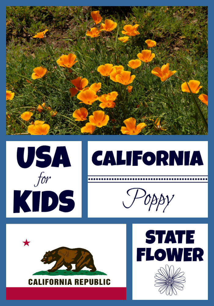 California state flower california poppy by usa facts for kids california state flower mightylinksfo