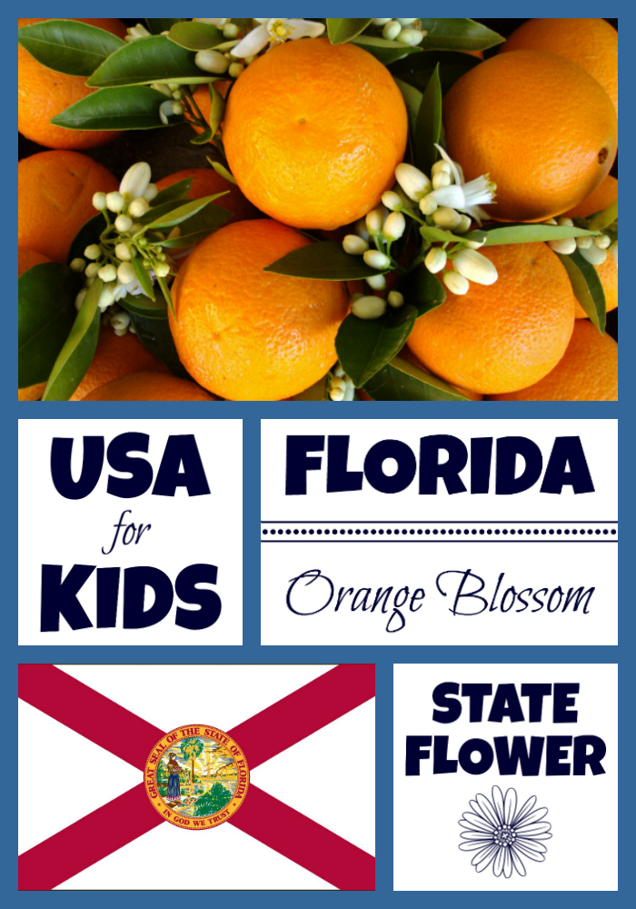 Florida State Flower Orange Blossom By Usa Facts For Kids