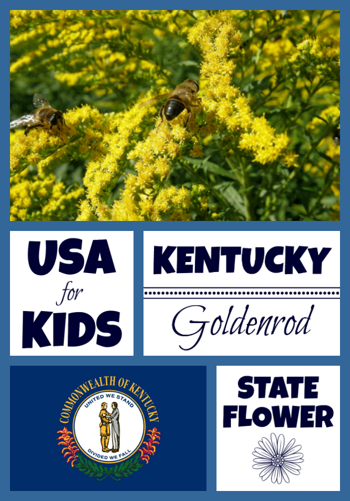 Kentucky state flower goldenrod by usa facts for kids for Kentucky state flower coloring page