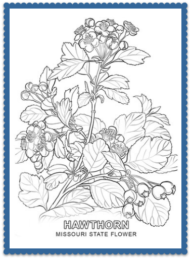 Missouri State Flower - Hawthorn Blossom by USA Facts for Kids