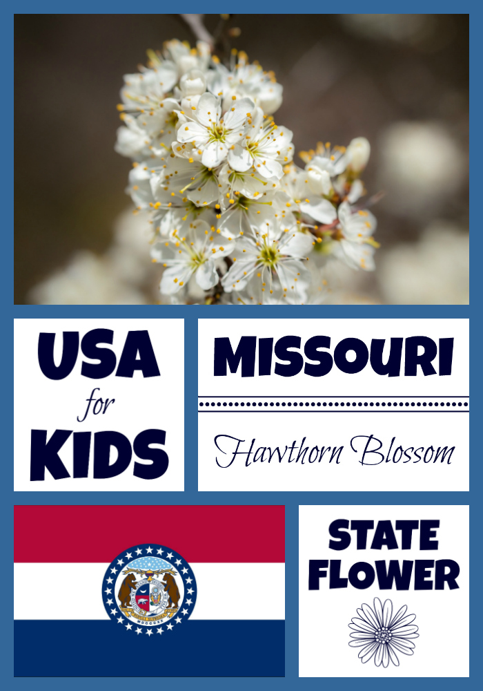 Missouri State Flower Hawthorn Blossom By Usa Facts For Kids