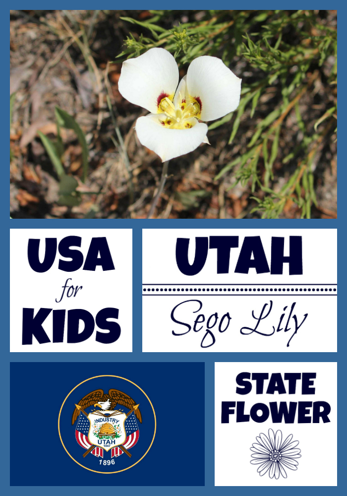 Utah State Flower Sego Lily By Usa Facts For Kids