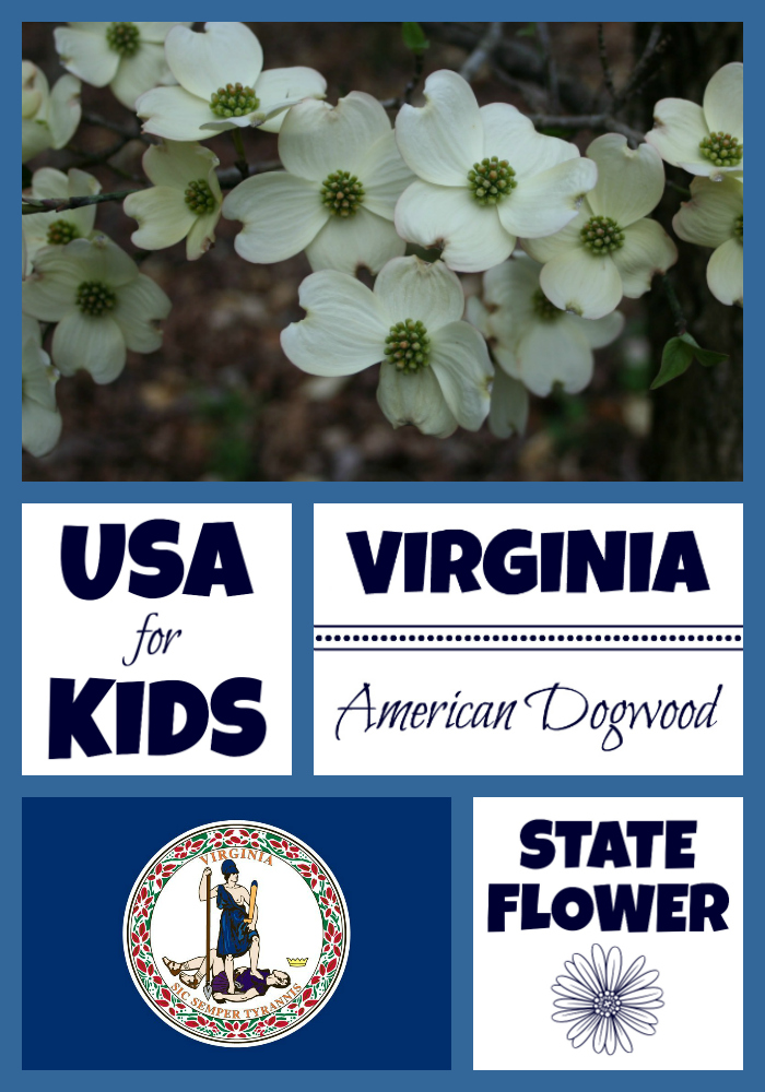 Virginia State Flower Flowering Dogwood By Usa Facts For Kids