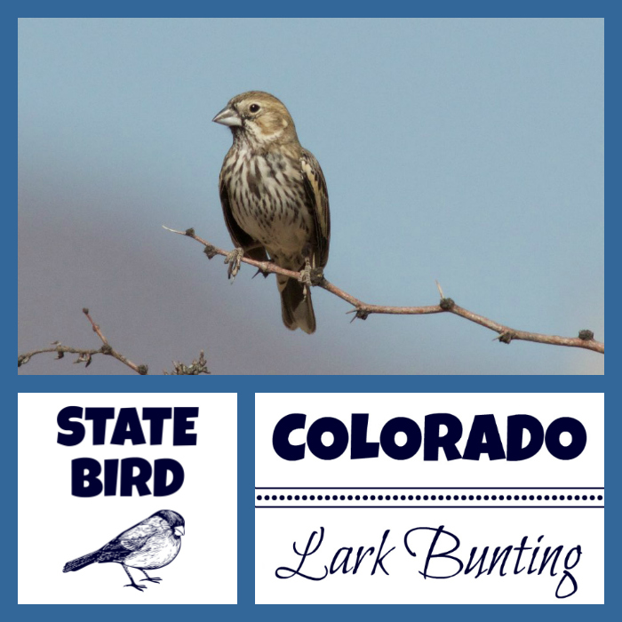 Colorado State Bird